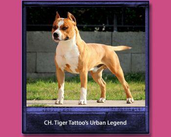 Amstaff | Tiger Tattoo's Kennel